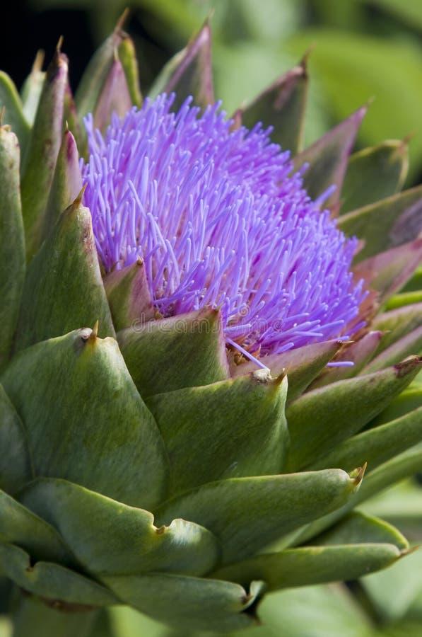 Alcachofra de florescência fotografia de stock