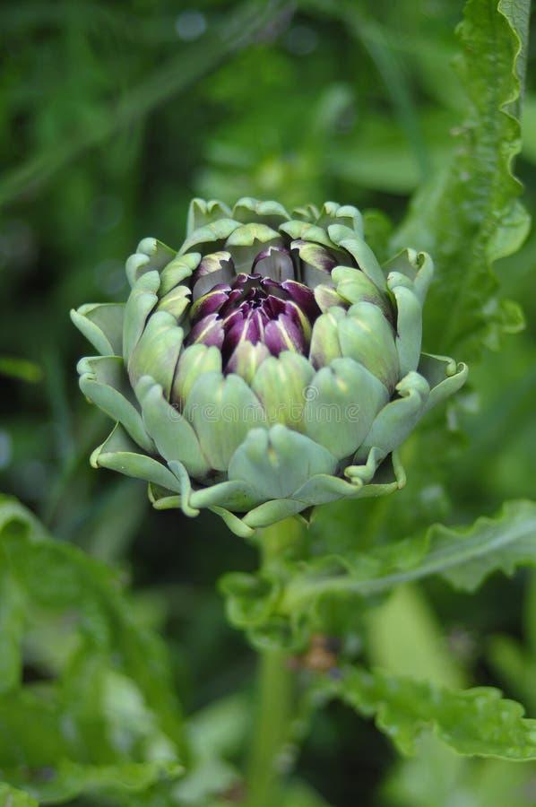 Alcachofra verde e roxa fotografia de stock royalty free