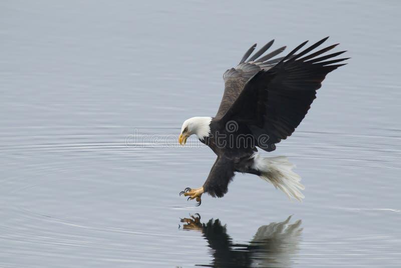 Alcances de Eagle para peixes fotografia de stock