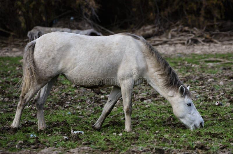 Alcances do cavalo selvagem de Salt River fotos de stock royalty free