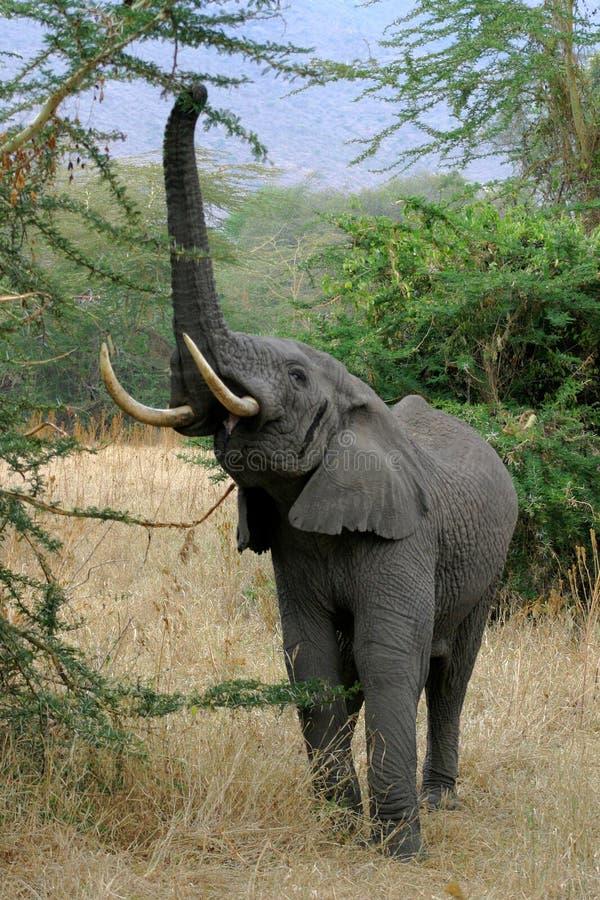 Alcangando o elefante fotografia de stock