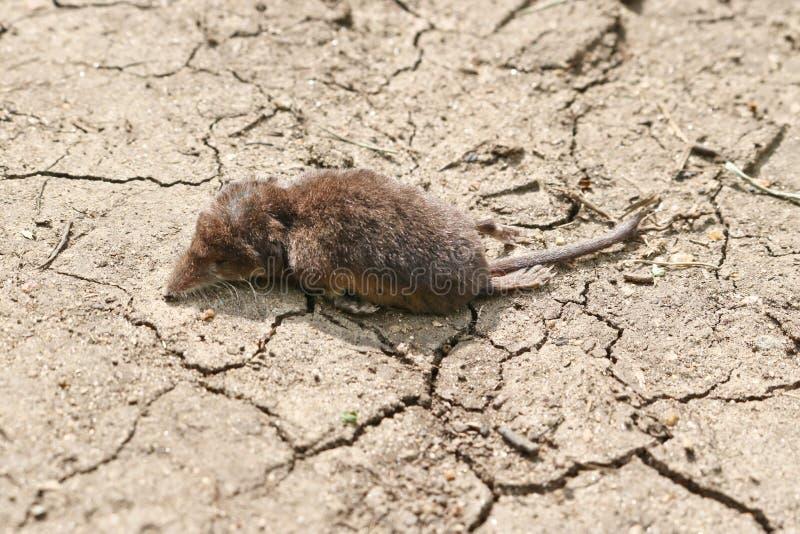 Alcaudón que muere de Soricidae de la deshidratación en la tierra sequía-agrietada fotos de archivo libres de regalías