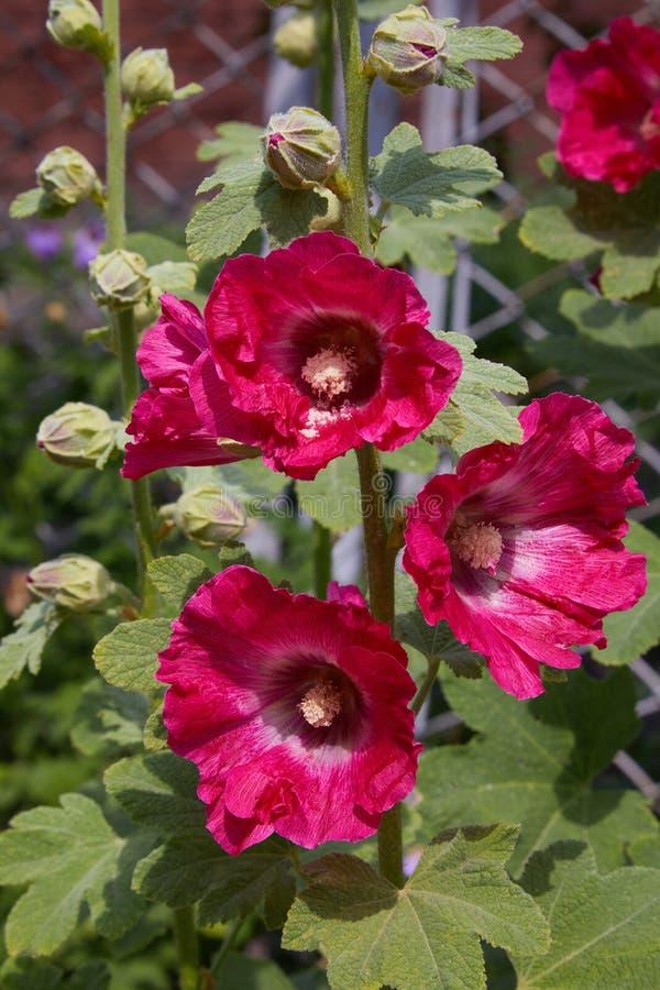 Alcea de Malva, mauve coupe-leaved, mauve de vervain ou mauve de rose trémière images stock