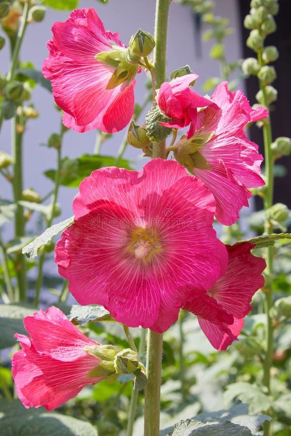 Alcea de Malva, mauve coupe-leaved, mauve de vervain ou mauve de rose trémière photos stock
