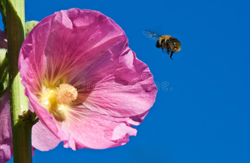 Download Alcea rosea with bee stock image. Image of grow, brightly - 10998219