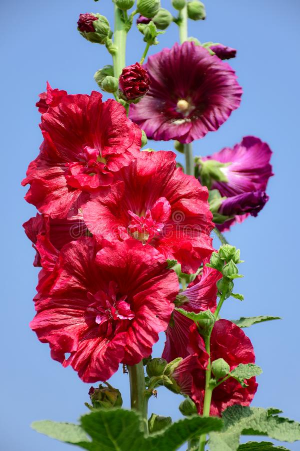 Alcea rosea, the common hollyhock, is an ornamental plant in the family Malvaceae stock photography