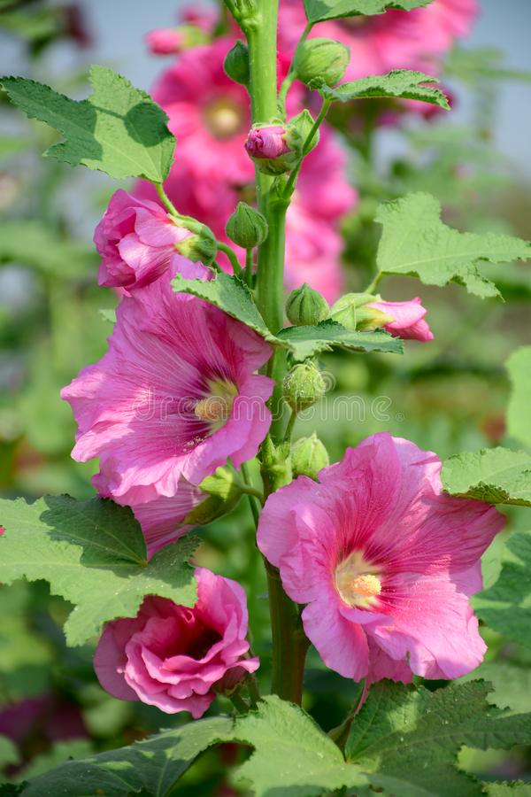 Alcea rosea, the common hollyhock, is an ornamental plant in the family Malvaceae royalty free stock photos