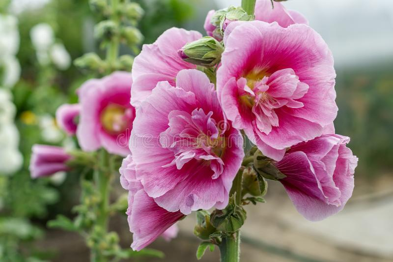 Alcea Rosea, a double form in pink. They are popular garden ornamental plant. Also comonly known as Hollyhock. Close up of. Blooming hollyhock flowers in the royalty free stock images