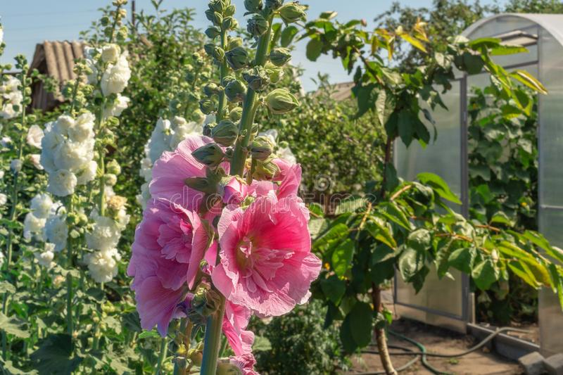 Alcea Rosea, a double form in pink and white. They are popular garden ornamental plant. Also comonly known as Hollyhock. Close up. Of blooming hollyhock flowers royalty free stock image