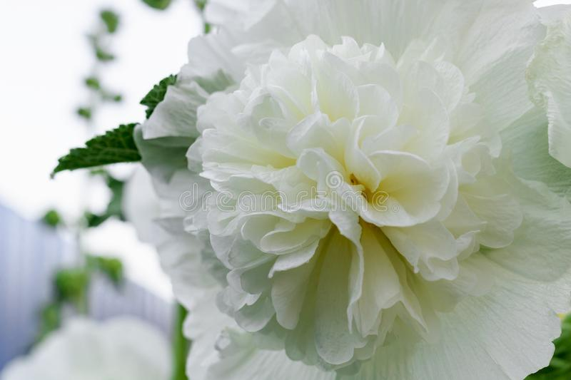 Alcea Rosea, a double form in white. They are popular garden ornamental plant. Also comonly known as Hollyhock. Close up of. Blooming hollyhock flower. Macro royalty free stock photography