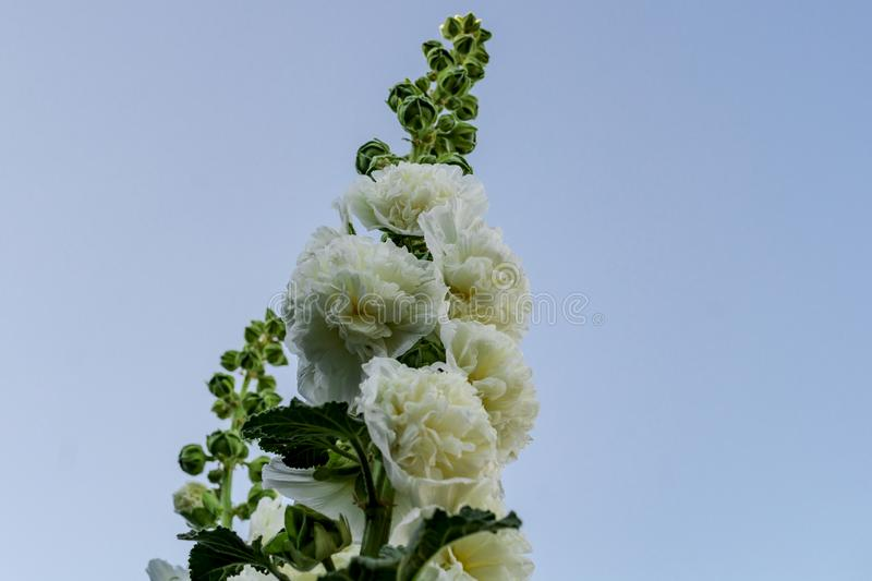Alcea Rosea, a double form in white. They are popular garden ornamental plant. Also comonly known as Hollyhock. Close up of. Blooming hollyhock flowers with royalty free stock photo