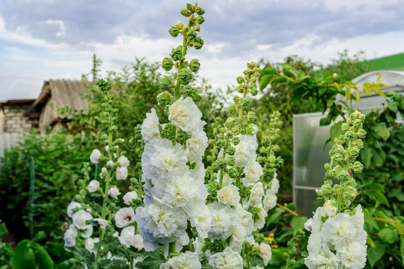 Alcea Rosea, a double form in white. They are popular garden ornamental plant. Also comonly known as Hollyhock. Close up of. Blooming hollyhock flowers in the stock photography