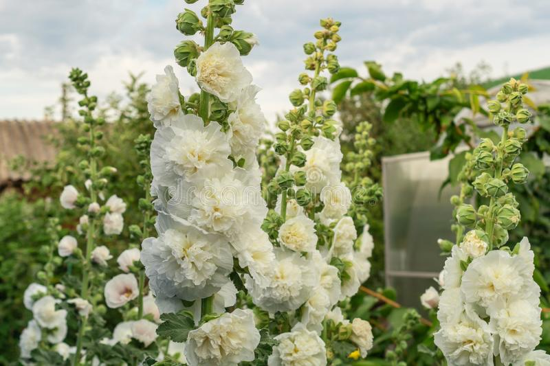 Alcea Rosea, a double form in white. They are popular garden ornamental plant. Also comonly known as Hollyhock. Close-up of. Blooming hollyhock flowers in the royalty free stock photos