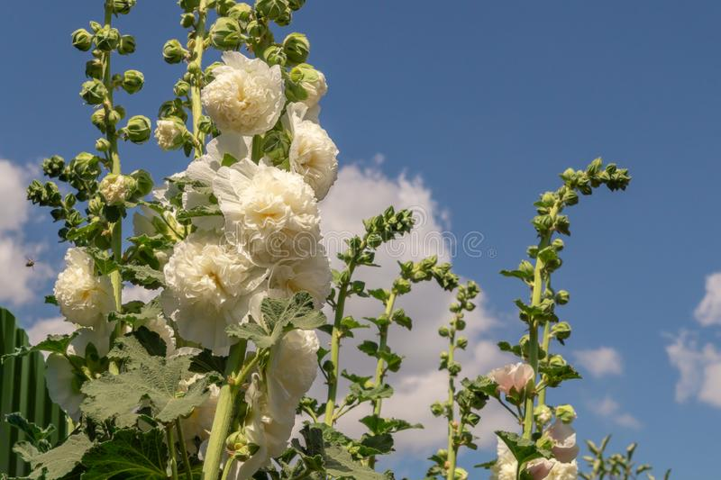 Alcea Rosea, a double form in white. They are popular garden ornamental plant. Also comonly known as Hollyhock. Close-up of. Blooming hollyhock flowers in the stock photos