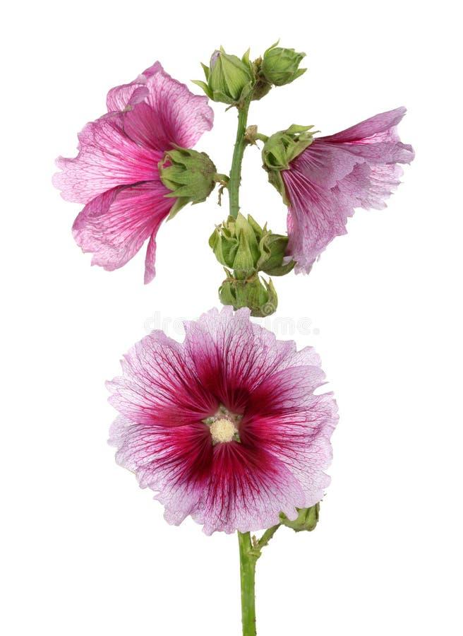 Alcea rosea stock photography