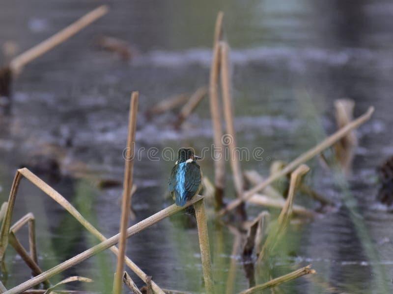 Alcedo al borde del lago imagenes de archivo