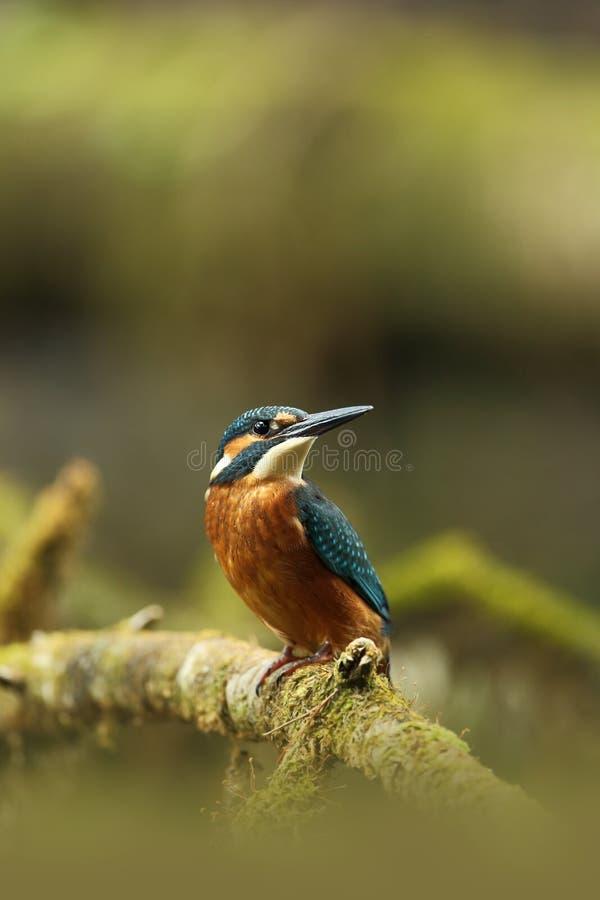 Alcedo atthis Ja zdarza się przez cały Europa Patrzeć dla spływanie rzek fotografia stock