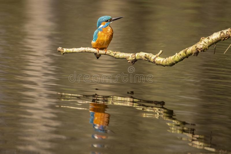 Kingfisher, Alcedo atthis. A diving bird stock image