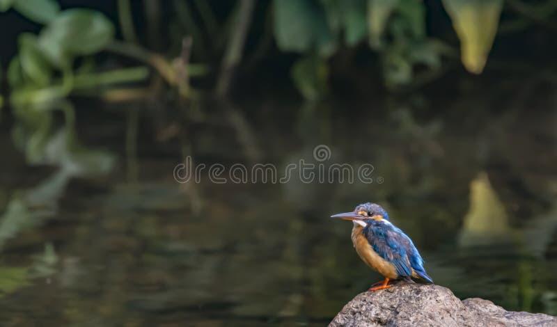 Alcedo atthis oder der gemeine blaue Eisvogel auf einem Felsen stockbilder