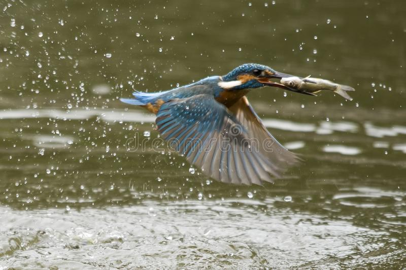 Alcedo royalty free stock images