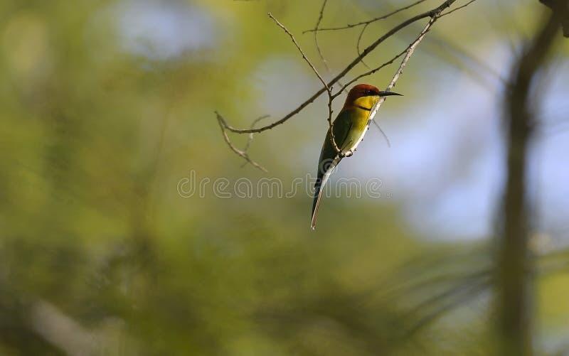 Alcedo kingfisher bird resting on a tree branch stock photos