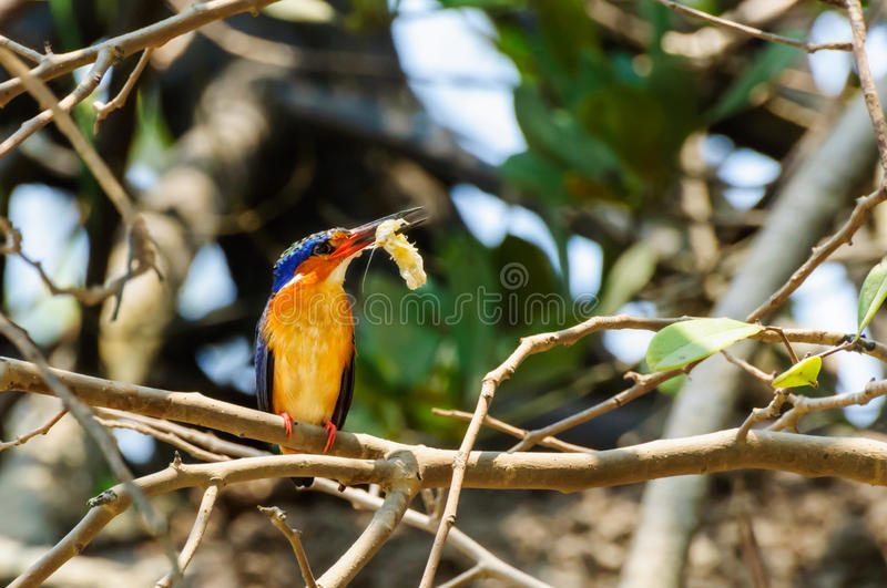Alcedo Vintsioides. A Madagascar King Fisher with its shrimp prey royalty free stock images