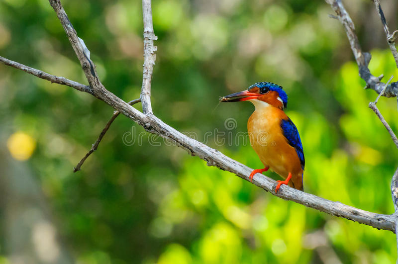 Alcedo Vintsioides. A Madagascar King Fisher perched on a branch stock photography