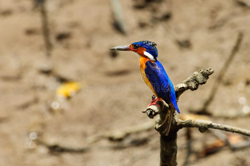 Alcedo Vintsioides. A Madagascar Kingfisher resting on a branch stock photography