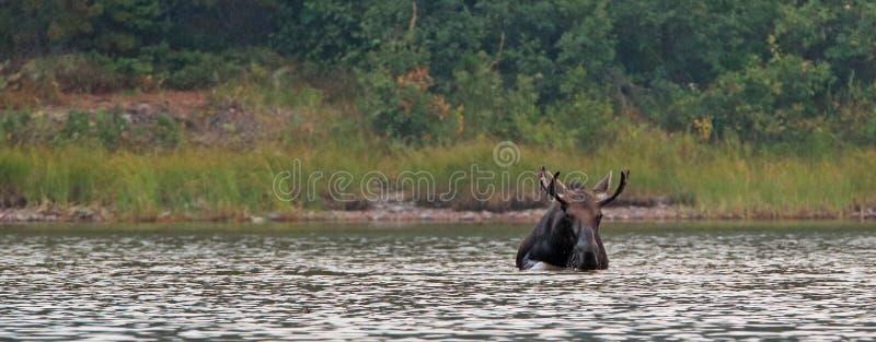 Alces adultos de Shiras Bull que alimentam na grama da água no lago Fishercap nos muitos o parque nacional de geleira da região d foto de stock royalty free