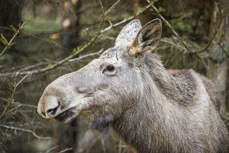 Alces alces - Moose. Close up stock photo