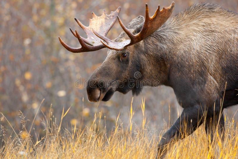 Alces Bull, Alaska, los E.E.U.U. foto de archivo