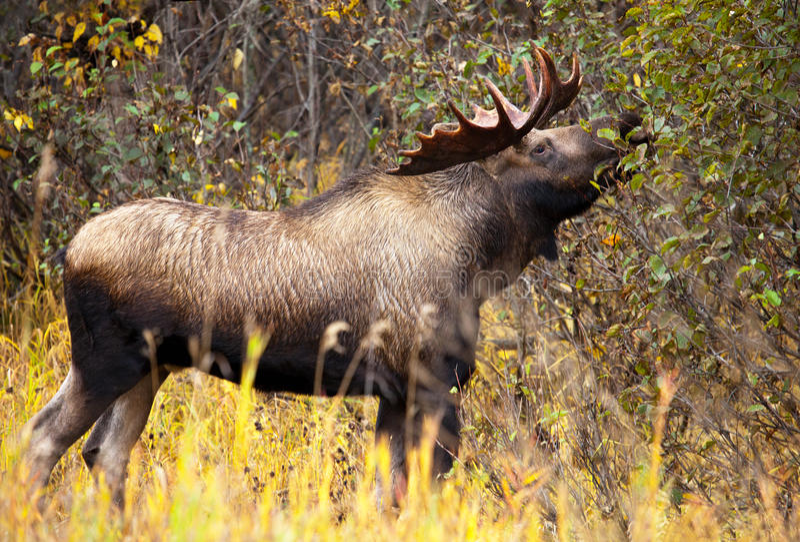 Alces Bull com chifres grandes que come, homem, Alaska, EUA imagem de stock