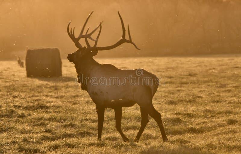 Download Alces Bull De La Puesta Del Sol Foto de archivo - Imagen de sunrise, silueta: 17487212