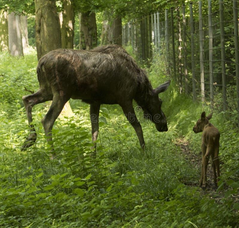 Alces d'Alces de vache à élans Karlsruhe, Allemagne, l'Europe photos libres de droits