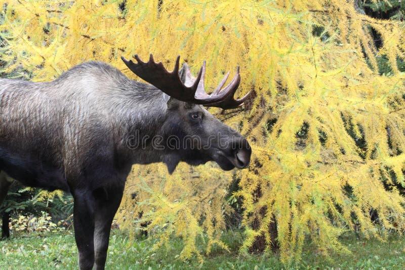 Alces de Alaska Bull foto de stock royalty free