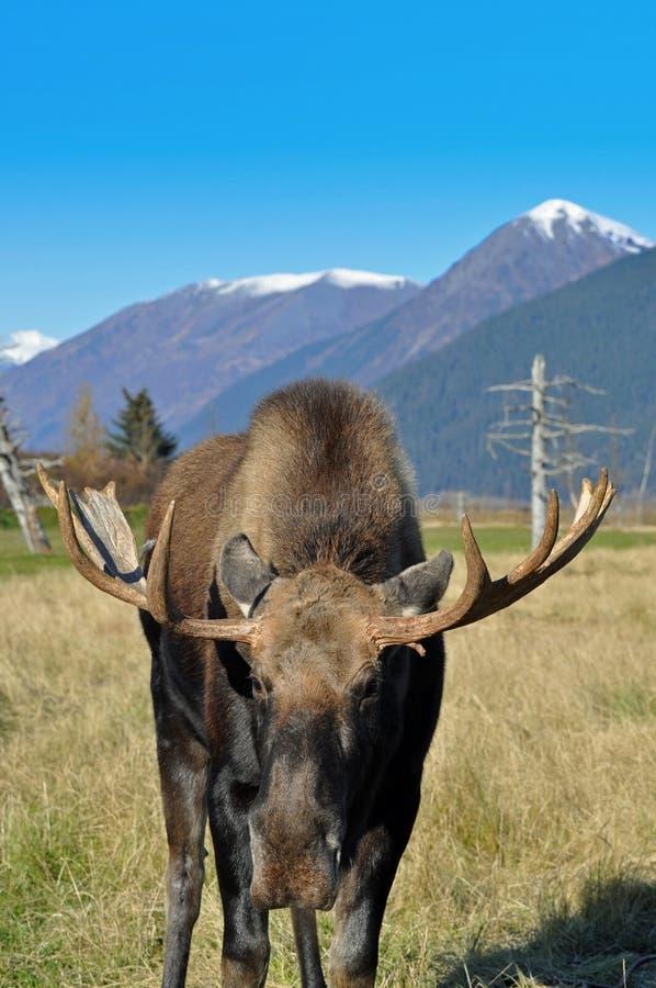Alces de Bull fotos de stock