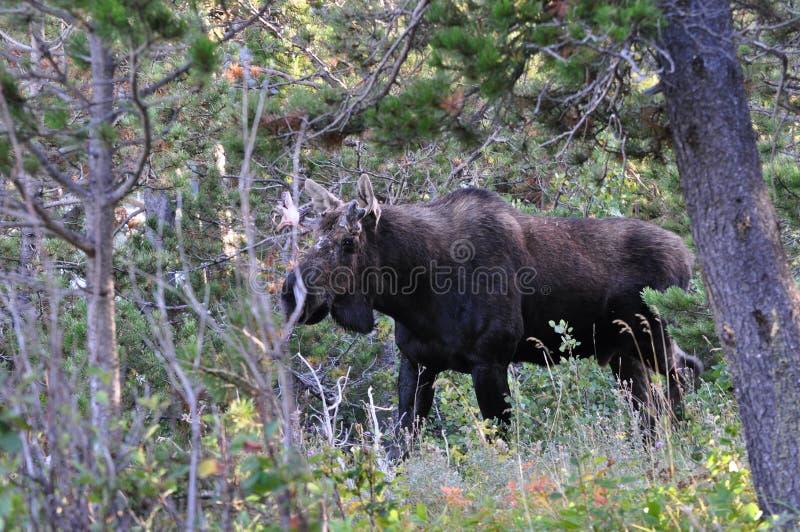 Alces de Bull no parque nacional de geleira fotos de stock
