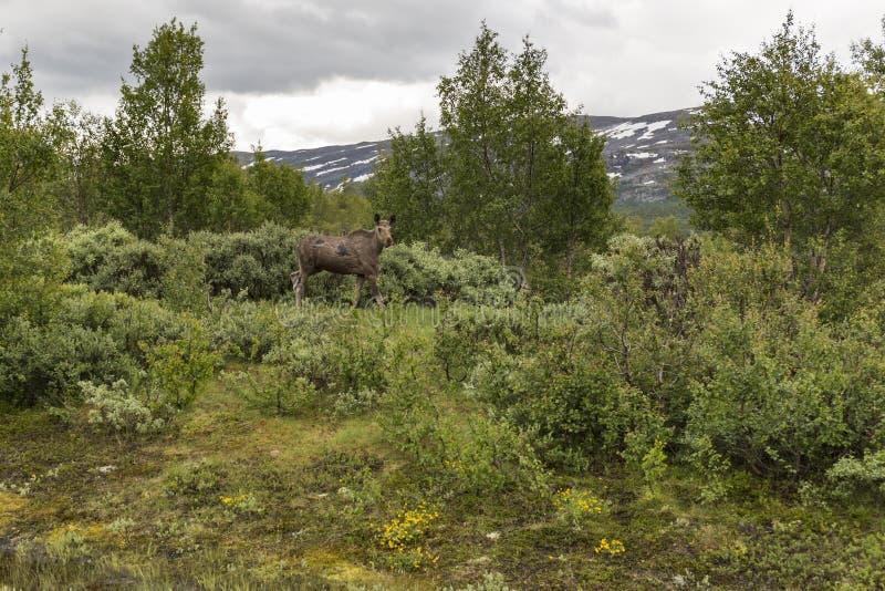 Alces de la vaca en Noruega imagen de archivo