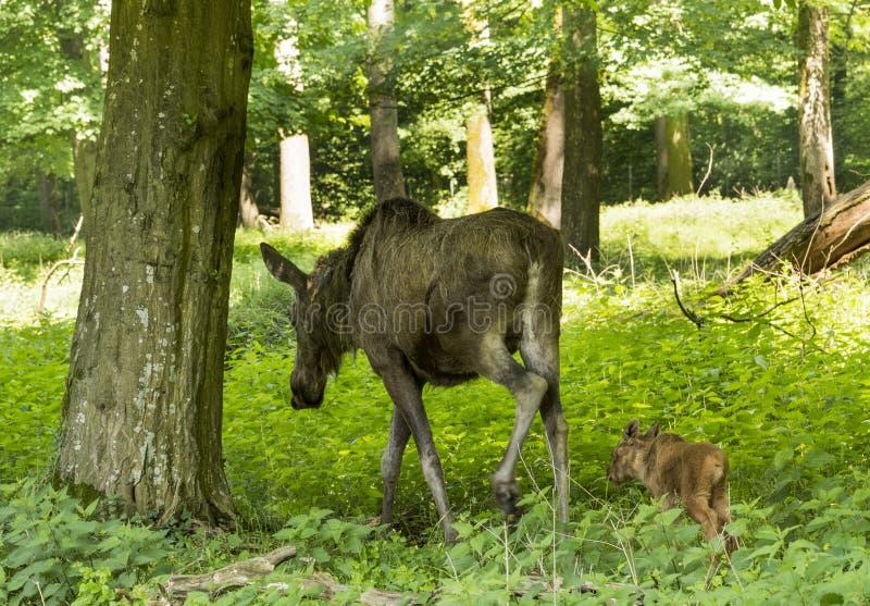 Alces di alces della mucca degli alci Karlsruhe, Germania, Europa fotografia stock