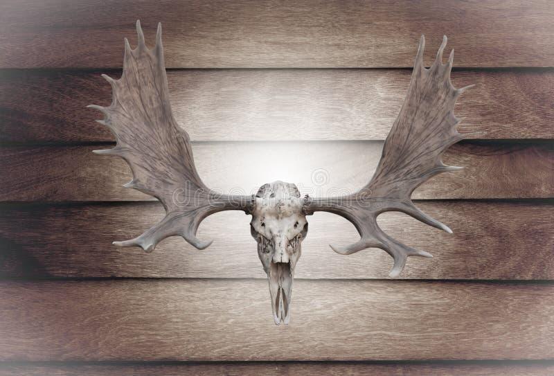 Alces do crânio do close up na parede de madeira fotografia de stock royalty free