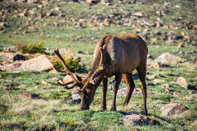 Alces do parque nacional no veludo imagens de stock