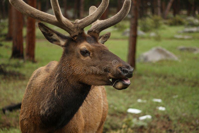 Alces em Colorado imagens de stock royalty free
