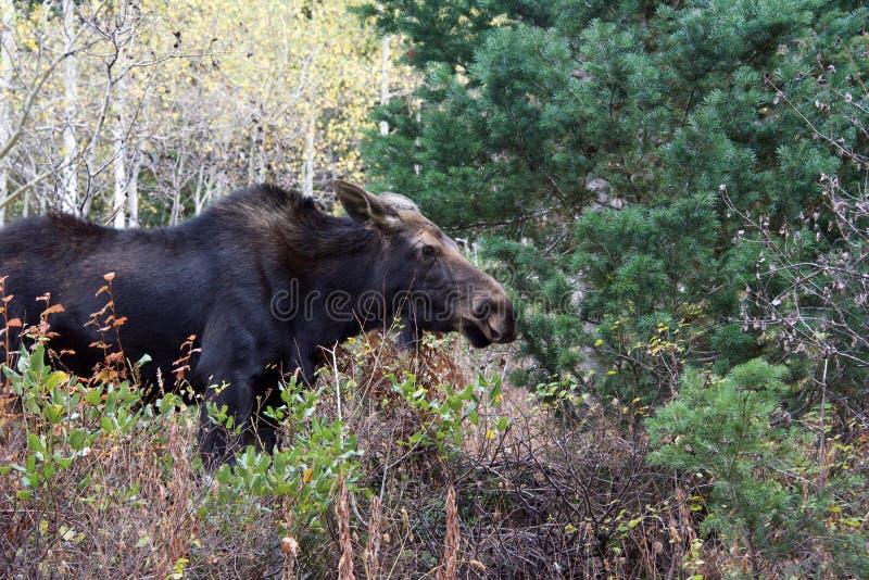 Alces em Rocky Mountains fotografia de stock royalty free