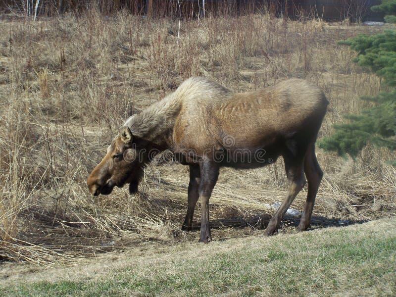 Alces embarazadas de la vaca en primavera imagen de archivo libre de regalías
