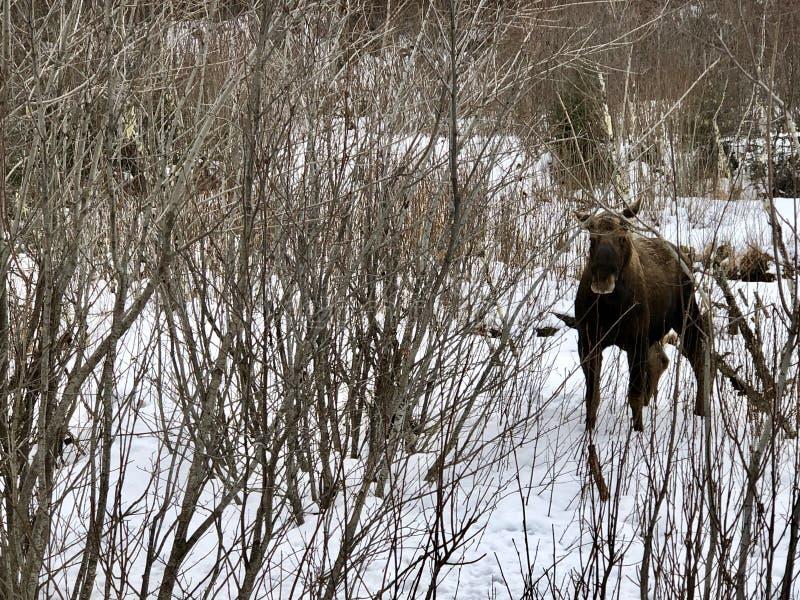 Alces en el arbusto de Alaska foto de archivo libre de regalías
