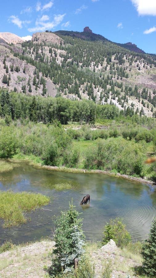 Alces en el lago mountain fotografía de archivo
