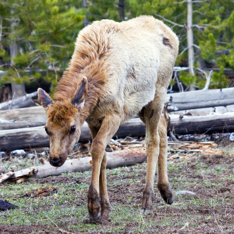 Alces jovenes asustados en Yellowstone NP imágenes de archivo libres de regalías