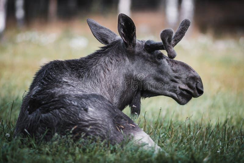 Alces jovenes Bull que descansa en prado foto de archivo