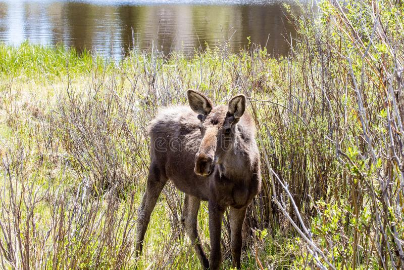 Alces jovenes de Bull en Sprague Lake en Rocky Mountain Park Colorado imágenes de archivo libres de regalías