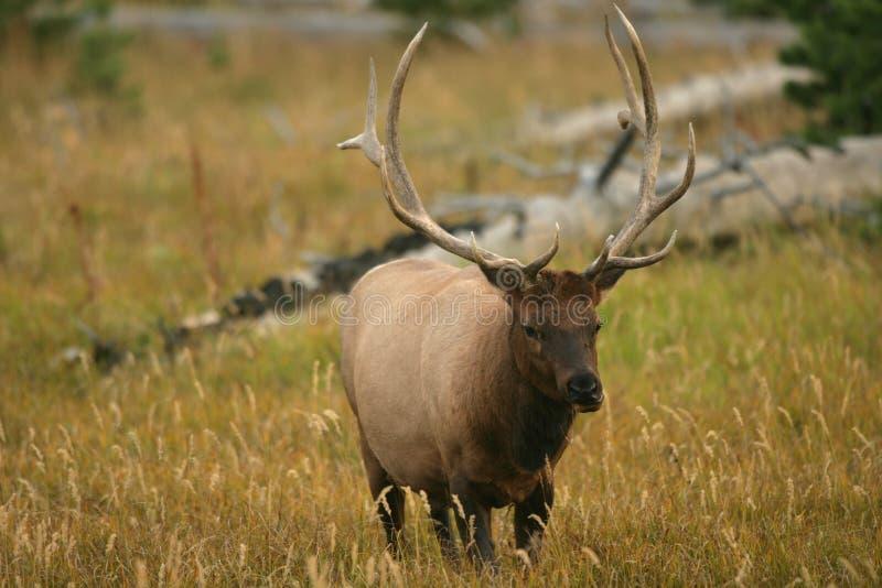 Alces masculinos de Yellowstone imagem de stock royalty free
